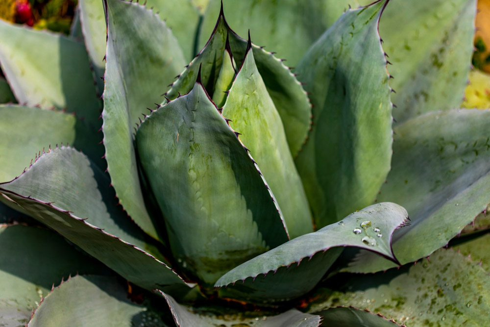 3 REASONS WHY TO STAY AWAY FROM AGAVE SYRUP